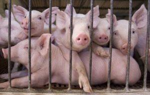 pig-farm-300x194