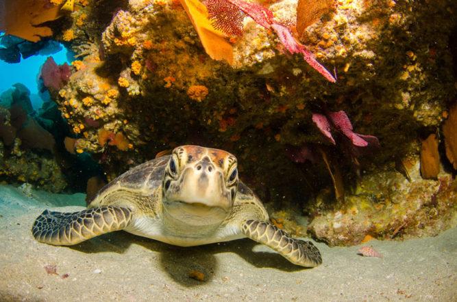 leatherback-sea-turtle